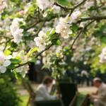 Tea at Orchard Tea Garden Cambridge